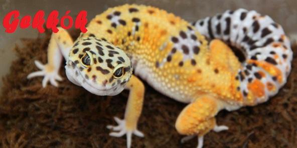 Exotic-pet-reptile-leopard-gecko-
