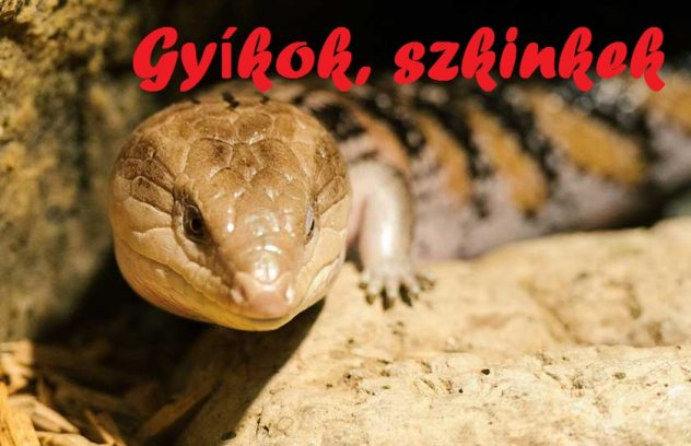 what-to-consider-when-purchase-a-blue-tongue-skink